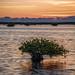 Mangrove sunrise