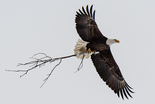 Bald Eagle | by EDrost88