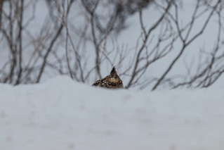 First glimpse of the world's most cooperative Ruffed Grouse | by Laura Erickson