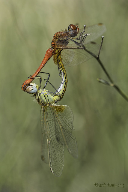 Sympetrum fonscolombii. Mating.