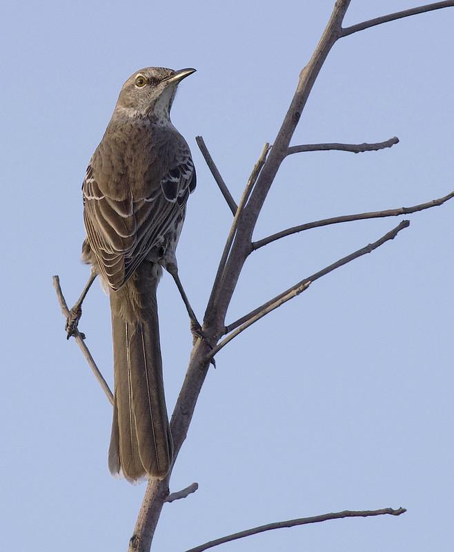 Bahama Mockingbird, Mimus gundlachii Ascanio_Cuba 199A4083