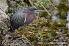 Eastern Green Heron (Butorides virescens virescens), adult DSD_7114 by fotosynthesys