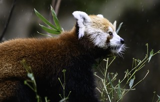 Red Panda at the Memphis zoo in the rain | by gsloan