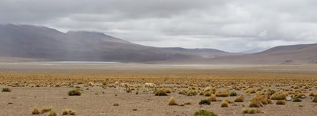 Vicuñas, the Cañapa Lagoon (Laguna Cañapa), Bolivian Highlands (Altiplanos Boliviano), Potosí, Bolivia.