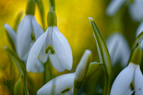 Snowdrops In Shiny Gold