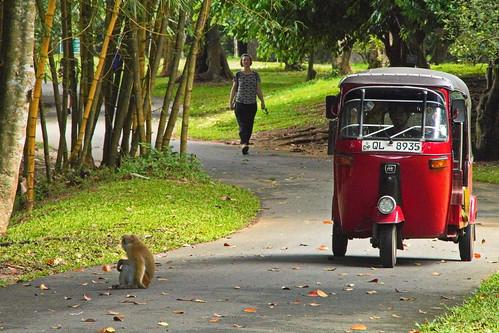 peradeniya srilanka lka reise travel urlaub holidays asien asia welt world strasenfotografie strretphotographie affe monkey tuktuk threeewheeler kandy botanischergarten botanicalgarden landschaft landscape