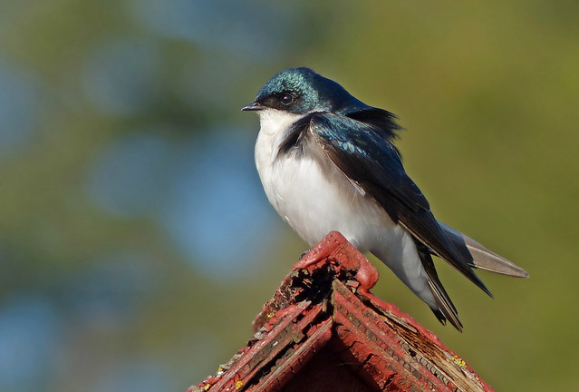 The Other Blue Bird