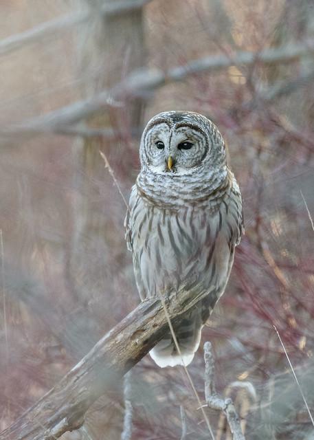 Barred Owl - 9336