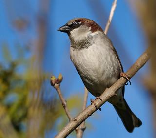 Haussperling/ house sparrow | by michael.schiebelsberger
