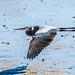 Great Blue Heron por Clifford Pringle