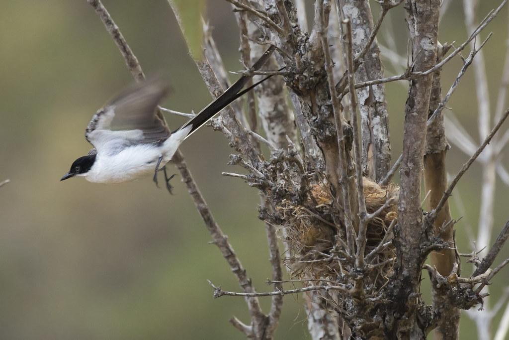 Fork-tailed Flycatcher (Tyrannus savana) 11 032019