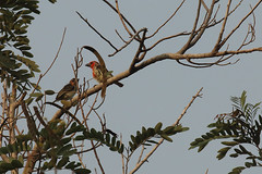 Viellot's barbet Shai Hills Resource Reserve in Ghana