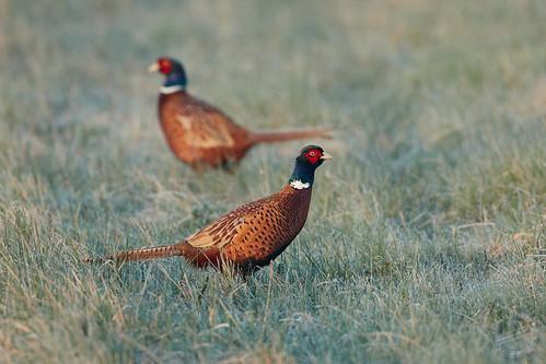 Fasan - Common pheasant - Phasianus colchicus