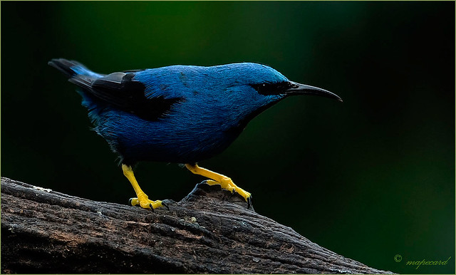 Shining Honeycreeper (Cyanerpes lucidus), Costa-Rica.