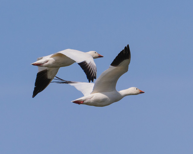 Snow Geese Fly By...