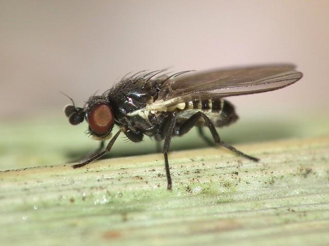 Cerodontha (Dizygomyza) luctuosa (male)