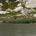 Cow Moose in Marion Lake