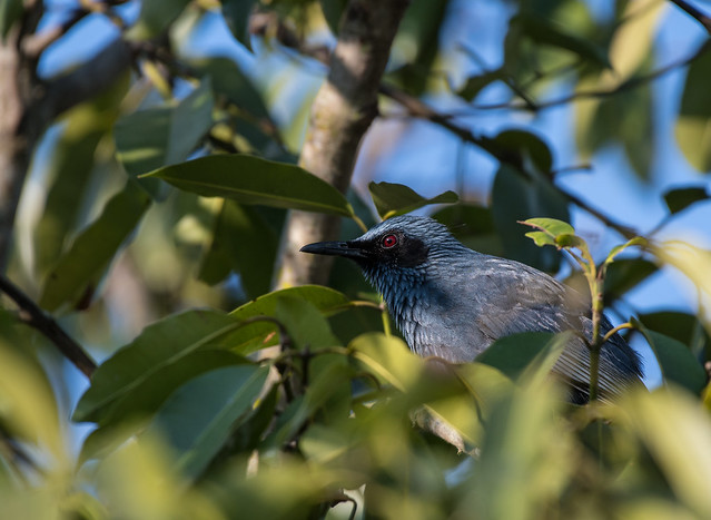 Blue Mockingbird, Moqueur Bleu, Mulato Azul, Melanotis Caerulescens
