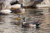 American Wigeon 81 by Gillfoto
