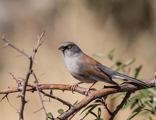Junco aux yeux jaunes / Yellow -Eyed Junco