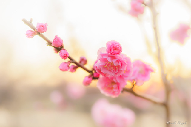 Plum blossoms at dusk
