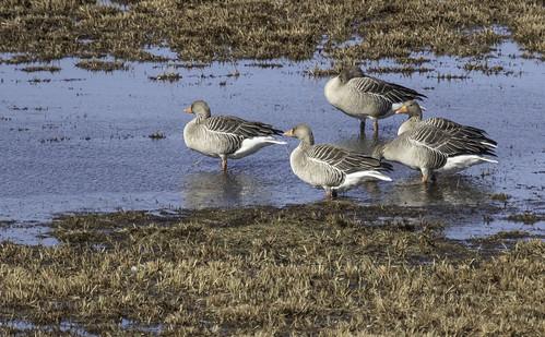 grågås anseranser greylaggoose hallhani hornborgarsjön lakehornborga hornborgarjärv