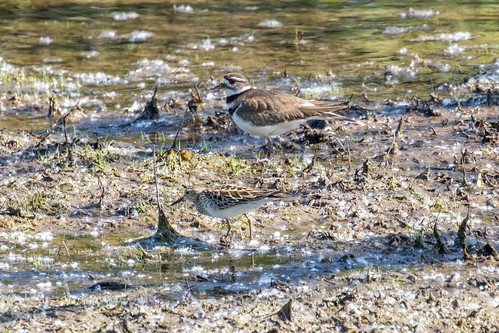 Killdeer (Charadrius vociferus) with Pectoral Sandpiper (Calidris melanotos) | by Mason Flint