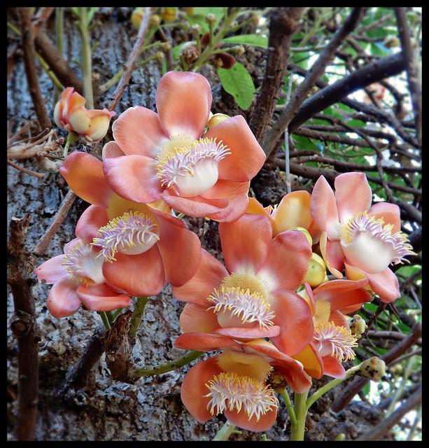 Cannon Ball Tree : Couroupita guianensis