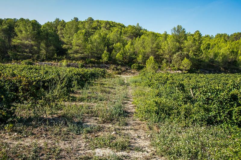 Camino que divide el viñedo de la Fonteta de Viladellops