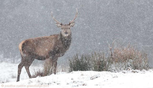 Pg197129 Red Deer Snow