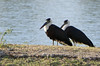 Asian Woollyneck, Asian Woolly-necked Stork, Woolly-necked Stork (Ciconia episcopus) by Francisco Piedrahita