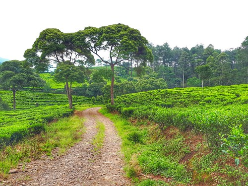 bandung indonesia teafields landscape green zudzowne patrickbeintema