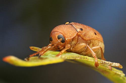 Cylinder Eucalyptus Leaf Beetle