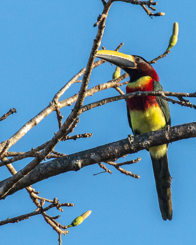 ARACARI, Red-necked