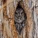 Western Screech-Owl by Rye Jones