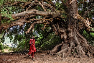 Los grandes señores de los bosques , nuestros centenarios padres. | by david de luz