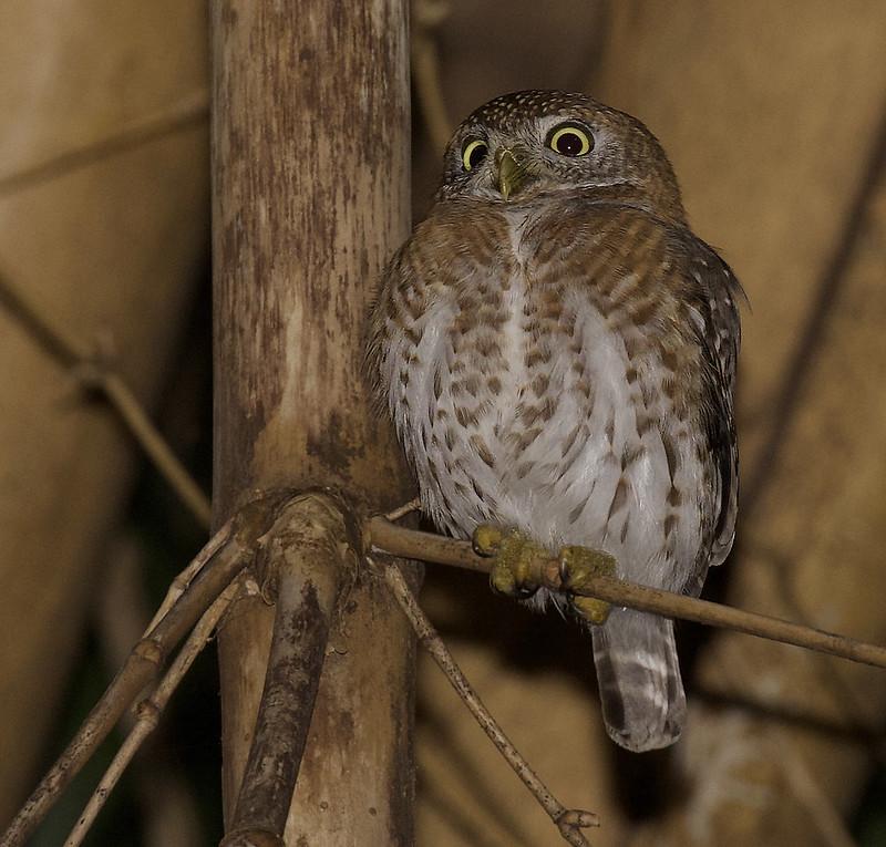 Cuban Pygmy Owl, Glaucidium siju Ascanio_Cuba 1 199A4361