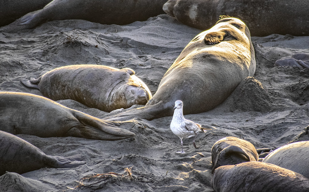 Amongst elephant seals at San Simeon