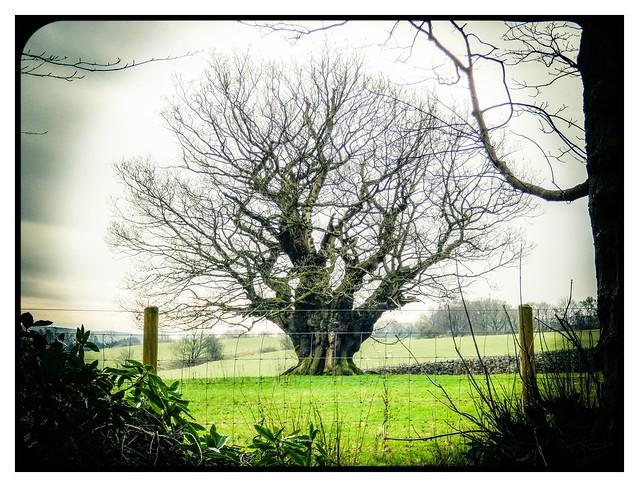 Pollard oak
