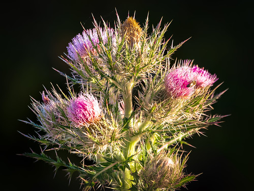 Thistle and bee | by Ed Rosack