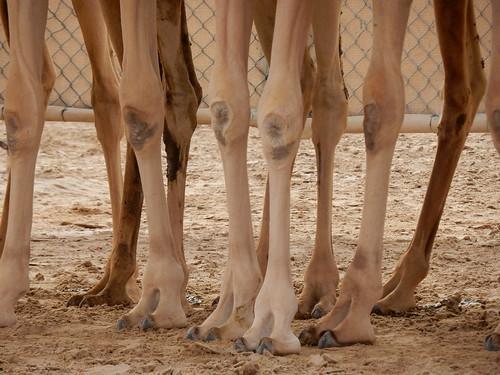 Al Marmoom Camel Racing Track - 7