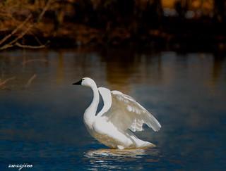 Tundra Swan middle Creek 801