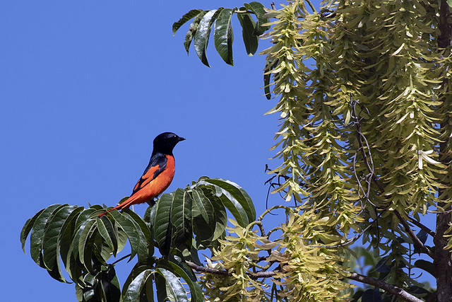 Thailand: Long-tailed Minivet, male
