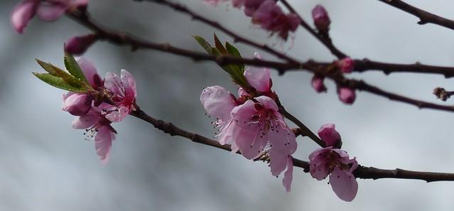 erste Pfirischblüte