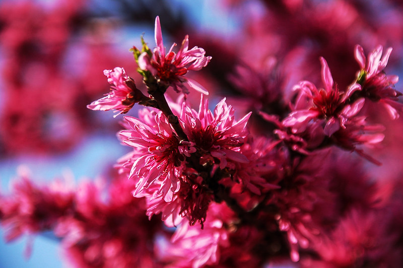 萬博公園櫻花 2
