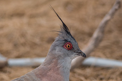Crested Pigeon | by steve happ