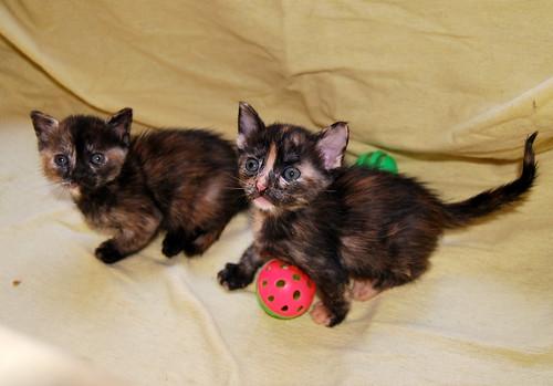 Narubi, gatita carey de cara bicolor amorosa esterilizada, nacida en Marzo´19, en adopción. Valencia RESERVADA. 47599741161_17c2698d7a
