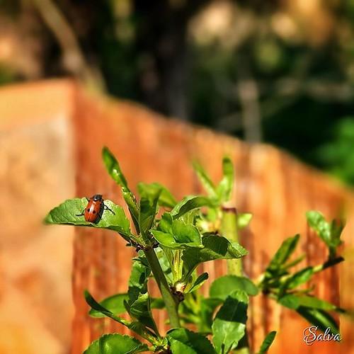 Será descendiente de las que traje el año pasado? Cuido de ellas y ellas cuidan mi jardín. #mariquita #ladybug #iosphoto #snapseedapp #viveydejavivir #soloseviveunavez | by Vorete