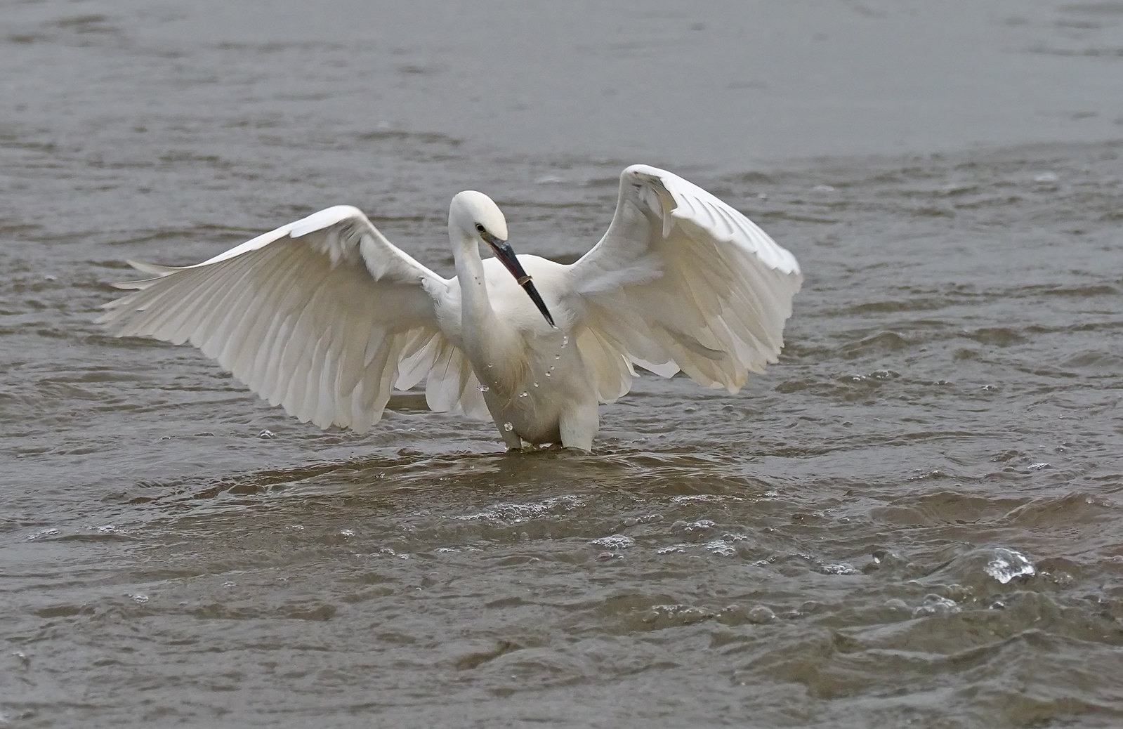 Little Egret performance