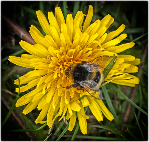 Day 104  Bees Need Dandelions! | by Carole Mills